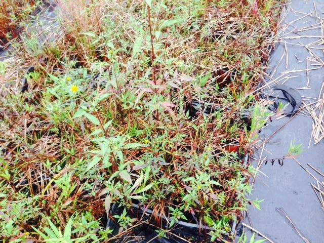 piante di hemerocallis